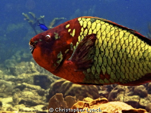 terminal phase stoplight parrot fish by Christopher Lynch 